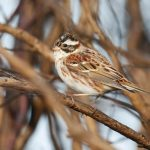 Rustic Bunting, Thursley Common (S Davis).