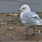 Iceland Gull, Beddington Farmlands (P Alfrey).