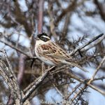 Rustic Bunting, Thursley Common (R Clark).