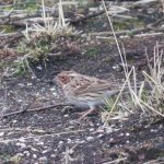 Little Bunting, Thursley Common (K Britten).