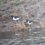 Oystercatchers, London Wetland Centre (J Klavins).