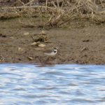 Little Ringed Plover, Beddington Farmlands (S Ferguson).