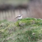 Wheatear, Richmond Park (J Klavins).
