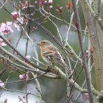 Brambling, Crooksbury Common (S Allen).