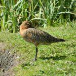 Bar-tailed Godwit, London Wetland Centre (J Reeves).
