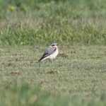 Wheatear, Shackleford (E Stubbs).