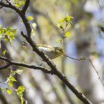 Wood Warbler, Puttenham Common (E Stubbs).