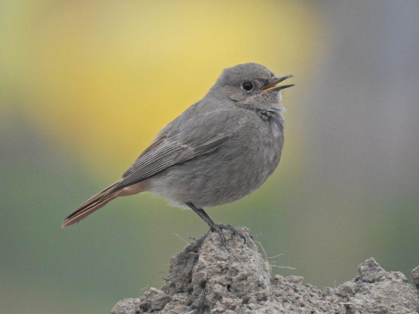 Black Redstart, Weybourne (J Hunt).