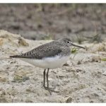 Green Sandpiper, Weybourne (J Hunt).