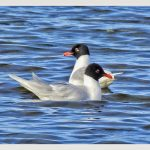 Mediterranean Gulls, Tice's Meadow (J Hunt).