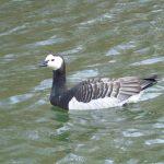 Barnacle Goose, Newdigate Brickworks (S Dorman).