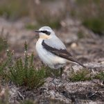 Wheatear, Thursley Common (K Brown).
