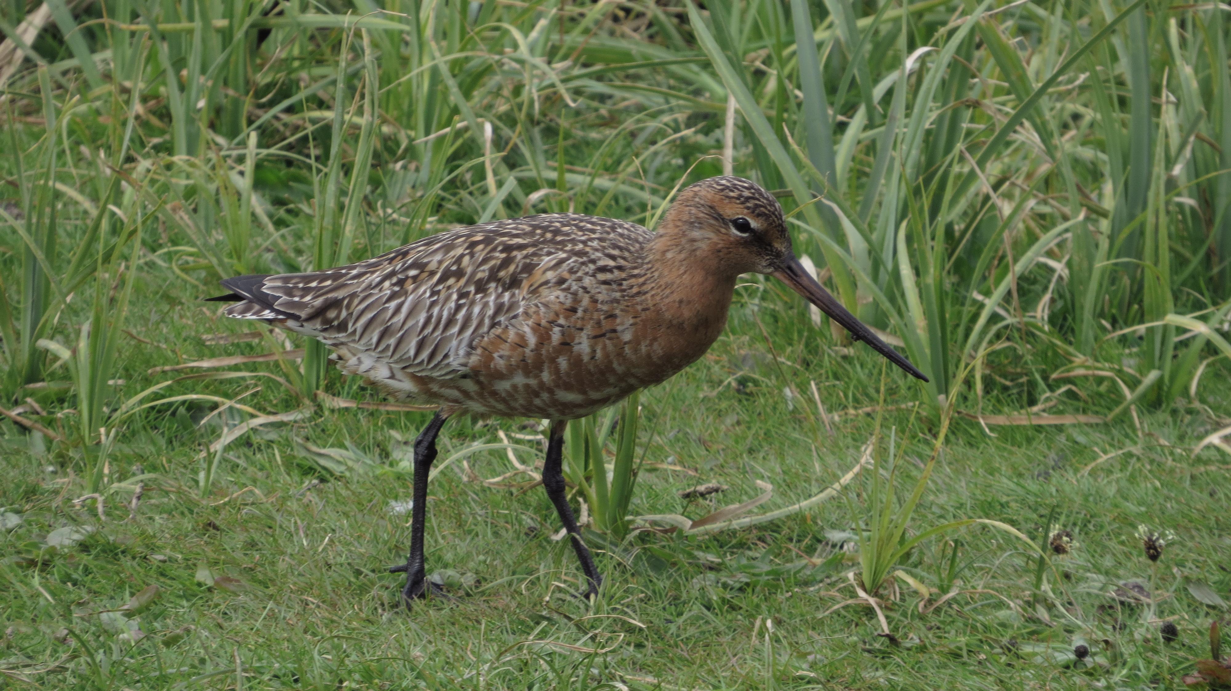 Bar-tailed Godwit, London Wetland Centre (J Klavins).