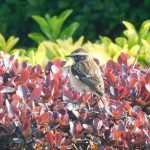 Whinchat, Wandsworth Common (N Rutter).