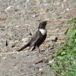 Ring Ouzel, Epsom Downs (S Gale).