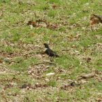 Ring Ouzel, Richmond Park (J Reeves).