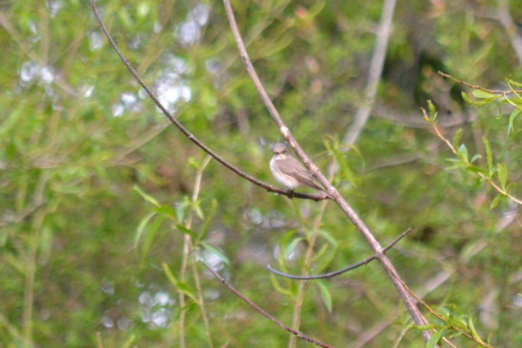 Spotted Flycatcher, Holmethorpe SP (G Hay).