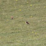 Wheatear and Whinchat, Little Woodcote (A Dutta).