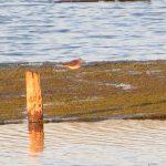 Wood Sandpiper, Tice's Meadow (K Britten).