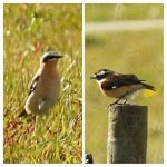 Wheatear and Whinchat, Wood Street Village (G Norman).