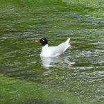 Mediterranean Gull, River Mole, Leatherhead (C Kemp)