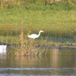 Great Egret, Holmethorpe SP (G Hay).