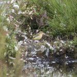 Yellow Wagtail, Thursley Common (E Stubbs).