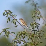 Whinchat, Dunsfold (E Stubbs).