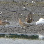Black-tailed Godwits, Tice's Meadow (D Burford).