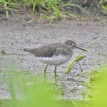 Green Sandpiper, Weybourne (J Hunt).
