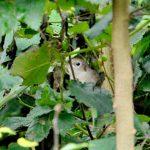 Nightingale, Clandon Wood (M Phelps).