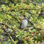 Spotted Flycatcher, White Down (R Clark).