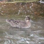 Garganey, London Wetland Centre (J Klavins).