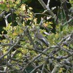 Pied Flycatcher, Wandsworth Common (N Rutter).