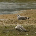 Yellow-legged Gull, Beddington Farmlands (A Ramesh).