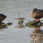 Pectoral Sandpiper, London Wetland Centre (J Anderson).
