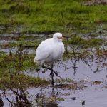 Cattle Egret, London Wetland Centre (J Norris).